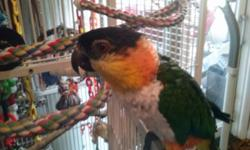 Mr Bean is a 3 yr old Black Headed Caique in need of a new home where he will be the King Pin of all pets!! He does have papers to prove his DNA sexing. He hatched in May of 2011 so still a youngster at 3 yrs of age. Caiques are very unique little birds.