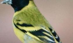 I have nice looking hooded Siskin and grey singer.