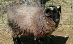Weanling black ram lambs; gentle, solidly built and used to all kinds of animals. Will be heavy bodied wool sheep with very good dispositions. Can deliver.