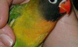 i have a green black mask lovebirds 60.00 for the pair bluemask 70.00 for the pair one blue one green 65.00 fort he pair