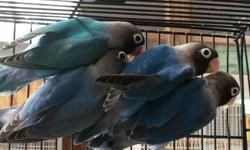 All this birds are this year's birds. Six month old. $75 each