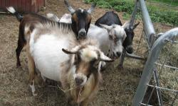I have an Alpine goat [Buck] i need to rehome ASAP, Please contact if interested, he's a companion for my mini-horse but we need a smaller goat we want them to stay together this winter. Will consider swapping also, long as the goat is smaller and does