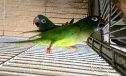 I have a Blue-crowned Conure pair for sale. They are a proven pair and aren't tame. They've been together for about 4 years. They come with their cage, bowls, and their nest box. Call (786)606-0011 if you prefer to speak in English. Just call if you have