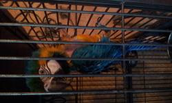 Sex unknown Previous breeder NOT TAME plucked chest Needs nail trim Will not ship