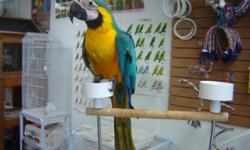 This Blue and Gold Macaw is still being hand fed once a day. The gender is not yet known. He is very sweet and tame. This bird can be seen at Adventure Birds of Bon Aqua in Bon Aqua, TN. Here is my cell should you need more information or directions.