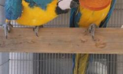 Female Blue & Gold Macaw. This is a breeding bird. She's not tame and not suitable as a pet. She's egg laying. Doesn't care for the males I have here. $450 firm. No Trades. She's an imported hen.