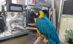 CHRISTMAS SPECIAL BLUE AND GOLD MACAWS...$1200. VALUE ONLY $500.EACH CHRISTMAS EVE AND CHRISTMAS DAY ONLY CALL OR TEXT NOW 954-632-0863