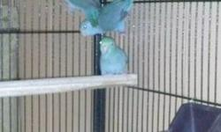 Parrotlets all females got 3 of them about 7 months