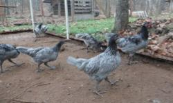 I have 1 roosters and 13 hens (pullets) for sale. Most of the roosters in the picture have been sold. I'm asking $15.00 a piece for the pullets. I hatched out all of these birds in September of this year, one hatch on the 2nd and the other hatch on the