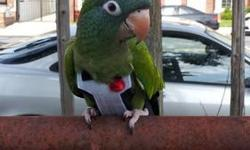 Blue Crown Conure to be re-home with small cage. Large cage available that is currently used for addtional $100.00. Cage is less than a year old