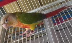 Hand tame Blue Crown Conures. Just weaned ready to go to new home. Very playful and loving. Love to be held and cuddle.