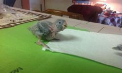 Blue Crown Conure baby must know how to hand feeding. Also parents on the picture please call at 305-300-2635