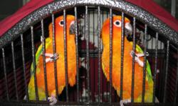 Dnad Male & Female Blue crown conure pair. 5 years old. No cage, Not Tame (have never worked with them) but do speak