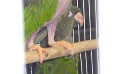 Mature pair producing 2 babies each year. Located near macaw pair so they may do better with more privacy. I sell the babies for $200 each to pet store. My number is Seattle but I am in Dayton Oregon Second picture is one of the babies