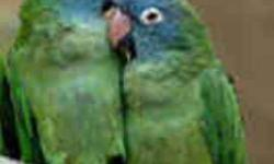Hand fed Baby Blue Crown Conures (Like Paulie in the movie). The birds currently available are colorful, nice and have the distinctive blue heads. PLEASE CALL JUDY for further details. Please call at (414) 466-2857. PLEASE NOTE *** I DO NOT GET ONLINE