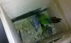 Hand fed Baby Blue Crown Conures (Like Paulie in the movie). The birds currently available are colorful, nice and have the distinctive blue heads. They will be ready to go and weaned around the end of September. PLEASE CALL JUDY for further details.