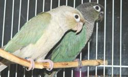 """My male Blue Crowned Conure, """"Blue"""" is a sweetheart and would like to be your lifetime companion. What do you think? If you would like to meet him, please contact me."""