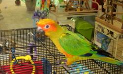 """I am a great talker, """"Hello, Hello baby, I love you, yabba dabba do, Give me a kiss, Good Girl and more. I was living with another bird and decided to pick my feathers to make a nest. So I am wearing a shirt so I won't pick. I eat seeds, pellets,and most"""