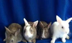 Have adorable blue eyed Netherland Dwarf mix bunnies will be under 3 pounds when fully grown. $50 760-473-2442 This ad was posted with the eBay Classifieds mobile app.