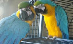 Beautiful, fully feathered bonded pair, Have had them together about 5 months. A varied diet of pellets, veggies, rice, beans, apples, seeds and biddy bread. Selling because I am getting into Golden Conure breeding