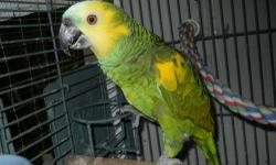 Have a 4 years old Blue front Amazon. Hand tame him/her from 2 weeks old. Gender is unknown. she/he love to play and entertain. talk and love to do a swing on your fingers. he/she love to eat with you on the table and walk around the house. he/she is