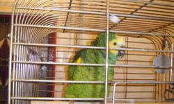 Amazon Blue Front Parrot. Around 20 years old. Imported and purchased from a pet store with bracelet on ankle. Eats well. Grains in the morning and fruit/veggies in the evening. Square Cage is included. 19L x 19W x 29H. His name is Hambone and he does