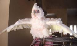 I am selling my blue fronted amazon cause I just don't have the time she needs . She is 4 years of age and a very quiet bird . She has taken to my bf more than I. It will maybe take a week to warm up to you but once she does she is nothing but a sweet