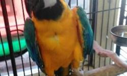 Beautiful healthy Blue /Gold Macaw available at Arierros Pet Shop.. 9531 Jamacha Blvd Spring Valley, Ca 91977 or call 619-434-3207