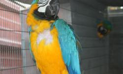 3 Blue and Gold Macaws $900 each. 8 1/2 months old. Tame
