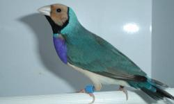 very rare roller with blue head and red check body. if any one know these bird they know its rare to breed them and come out with this color. the parent have to both have the blue head gene in order for the chicks to have blue head. I have about three