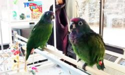 SOLD - Parents are on eggs again.I have two recently weaned hand fed baby Blue Headed Pionus for sale. They are closed banded & hatch dates are 11-16 & 11-18, 2014. They are very sweet & can be handled. Also hard to find. Any questions, please call