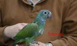 Blue Headed Pionus Six months old. Were hand fed from 3 weeks until weaned. Handled multiple times daily. They reside in the living room. Two available. This is an exceptional deal as most breeders/pet stores sell them for $600 - $1,000. Would consider