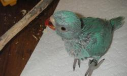 These baby blue ringnecks were hatched the first of May. They are being hanfed and will be very sweet babies. They should be weened and ready for their new homes around the first of July. I feed all my birds Harrison's Pelleted diets and fresh food.