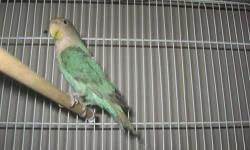 Beautiful turquoise blue peach-faced love bird, almost 4 months old, ready to go home. The peach coloring is now starting to come in. It comes in a brand new play-top cage (the top opens up, and you can set a perch across it for the bird). The cage itself