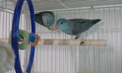 tame male baby blue parrotlet