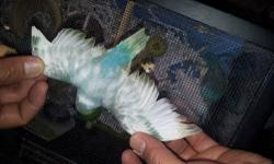 """2 1/2 months old female parrotlet handfed and tamed almost fully weaned contact @ 619-316-1007 ask for Lernel for more info.... NOTE: no time for e-mail to reply """"I'm always on the road""""."""