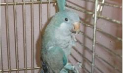 BLUE QUAKER, Proven Male Breeder. This Bird is NOT Tame. Feather condition chest is plucked. Does not come with a cage. SORRY NO SHIPPING. Cash Only, asking $100.00