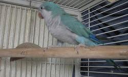 she is 7 months old,full feather,not clipped, learning to talk. sale or trade will meet within reason