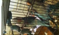 I have 10 Blue Quakers for sale, they are 9 months old, all have been hand feed.$250. a piece but if you buy 5 or more $200. You can call me at 512 574 2598.
