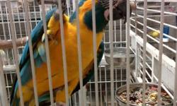Blue Throat Macaw babies... hand feeding now. Will be available to go home when weaned. $2,000 each. Wholesale inquiries welcome from qualified Florida stores/resellers. FLORIDA SALES ONLY. No exceptions.