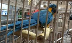 8 yr old female can be handled by experienced Macaw handler. Just needs attention to be tamed down. Rough feather on chest!!