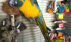 4.5 year old male Blue Throated Macaw. The cage is by .... Cages by Design. He can not get out of this cage ( cage comes with him) Full feathered and healthy. Feel free to make an offer for just the bird. But please have time for him. Email for more pics