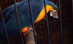I have three very sweet male Blue Throat Macaws. The Blue Throats are extremely intelligent and love to be snuggled. They make great pets and are very playful. Email me with any questions. Asking $2,500 picture is of last clutch babies.
