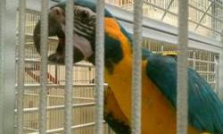 $2,500 EACH. Blue Throated Macaws 561.594.7007 Babies Available