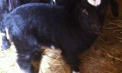 Male / buck Boar meat Goat he's 8 months old excellent health Rust color or reddish brown and white 606 365 1129