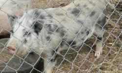 We got some boar does and billies for sale most of them are purebred but a couple aren't the starting price is 75 dollars and pictures are available on request.