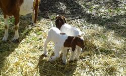 I have 2 fullblood boer bucklings, but no papers on these boys, they are out of triplets born 3-1-13, their mother is a piant doe and normally quads or trips no problem. They are 6 week old. will be 8 weeks on 4-26-13 Very nice long ears, and traditional