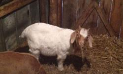 Boer Buckling born 12/27/2013. Would make a good breeder in the fall, a good pet or even to eat. Both parents are on the premises. This ad was posted with the eBay Classifieds mobile app.