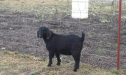"""BOER Black Fullblood buckling """"Corben"""" kd: 8/31/14 (weaned) Sire is our Mahogany herdsire """"Little Man"""" (double registered ABGA/USBGA and DNA typed) w/harder to find """"old school"""" genetics. Dam is our Mahogany matriarch """"Warriors Rosemary"""" (ABGA retired"""