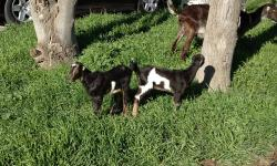 2 Meat Goats sisters 5 Month old.Reg. dewormed and all shots . each 150 both 200$ They eat Hay ,alhalfa,and Weeds! Very Friendly ,and sweet.They follow like a Dog. Any queastion please feel free ,and asks me Or Trade for westersaddle,